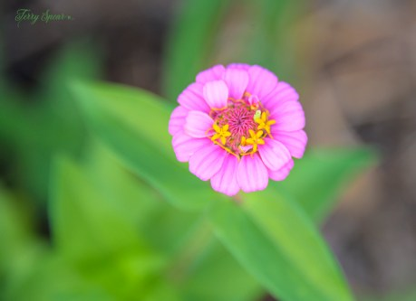 zinnia pink basic 1000 019