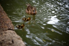 Duck and ducklings on the Riverwalk San Antonio 1000 188