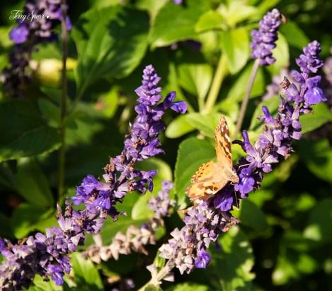 butterfly on purple flowers 1000 987