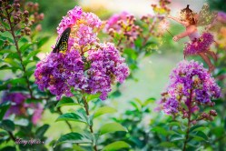 purple magic crepe myrtle and fairy1 1000 043