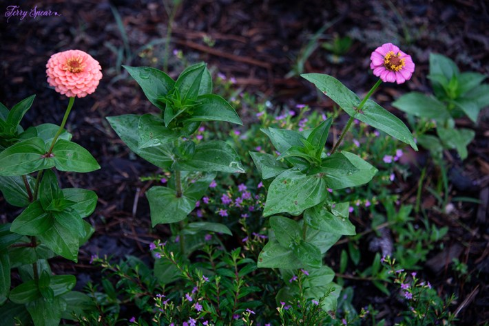 zinnia and heather 1000 023