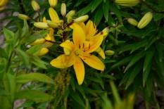 Asian lilies (800x534)