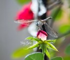 dragonfly on a rose 1200 045