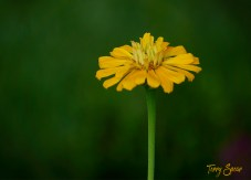 yellow zinnia home 1000 576