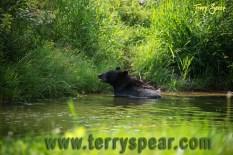 Holly black bear in water 1000 Minnesota 1659