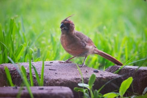 baby cardinal 1000 013