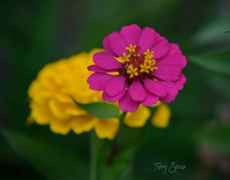 bright pink and yellow zinnia 1000 050