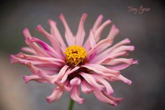 giant pink zinnia 1000 103