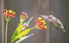 hummingbird 1000 007