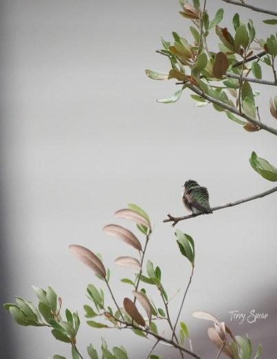 hummingbird 1000 074