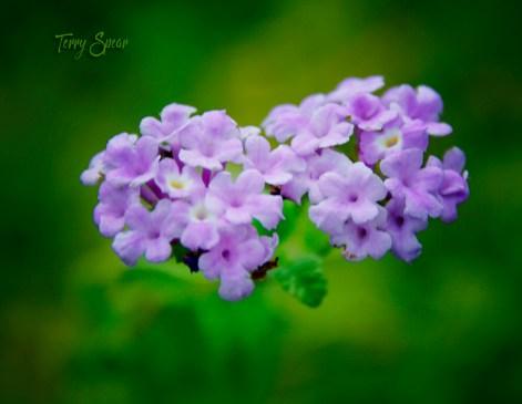 lilac lantan 1000 057
