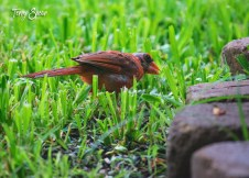 male cardinal 1000 094