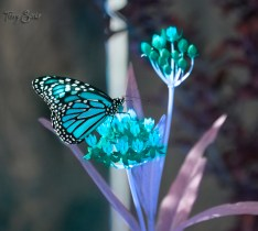 monarch butterfly blue version 1000 069