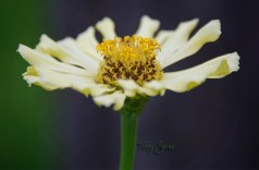 pale yellow zinnia 1000 052