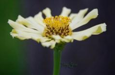 pale yellow zinnia 1000 052