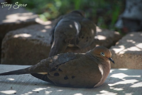 sleepy mourning doves 1000 001