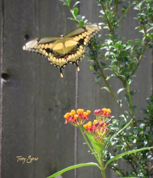 yellow swallowtail 1000 006