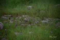 field of purple wildflowers 1000 017