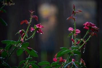 rain on the roses 1000 006 copy