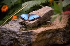 Blue Morpho Butterfly 1000 Minnesota 3653