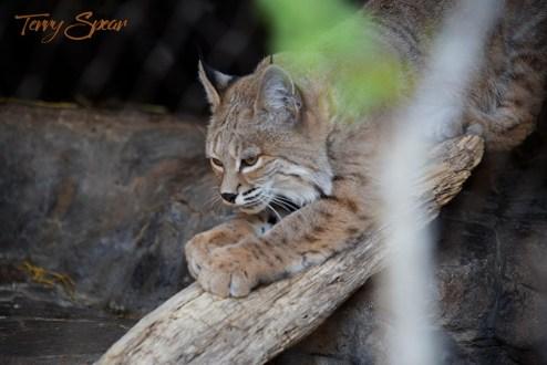 bobcat scratching on wood 1000 814