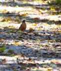 closeup of robin on snow forest 1000 1392