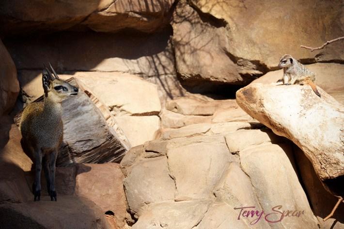 meerkat and friend 1000 732