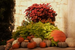 pumpkins and plants DSC_6130 (800x534)