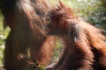 baby orangutan up close 1000