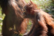 baby orangutan up close 1000
