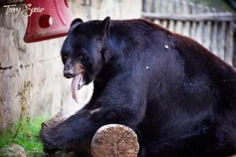 black bear tongue out 1000