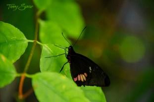 black butterfly 1000 178