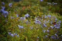 blue flowers gulf fritillary butterfly 1000 064