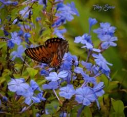 blue flowers gulf fritillary butterfly closeup 1200 064
