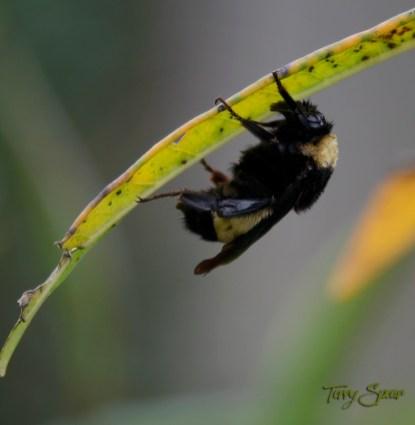 bumblebee 1700 002
