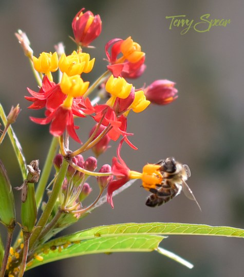 honeybee on milkweed 900 116