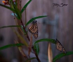 monarch butterflies night 1000 004
