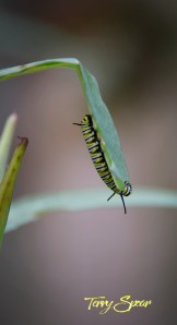 monarch caterpillars 1000 005