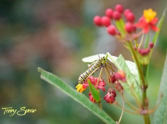 monarch caterpillars 1000 026