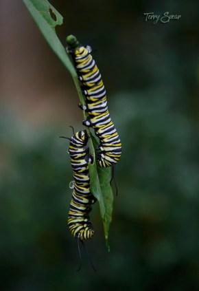 monarch caterpillars on sme leaf 1000 017