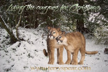 cougar affection in the snow 1000