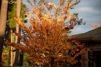 neighbor's crape myrtle in gold 1000