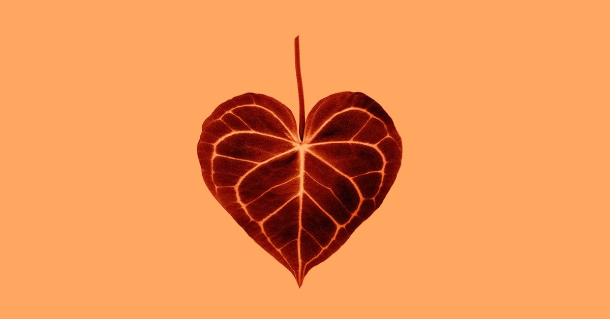 A brown colored heart shaped leaf against a peach background
