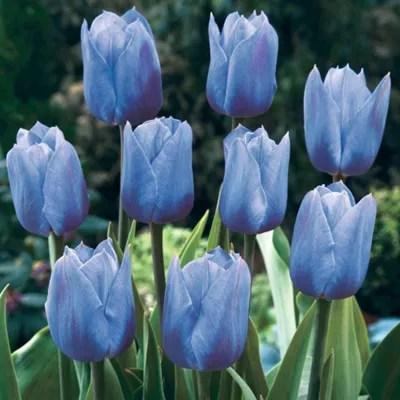 Buy Tulip True Blue 10 Bulbs From Our Bulbs Range Tesco