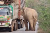 Elefanti ndal kamionët, është koha për të ngrënë (video)