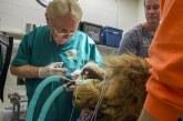 Një luan me kancer lëkurë, si po trajtohet në kushte spitalore (video)