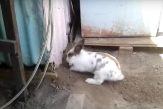 Pamje prekëse të një solidariteti kafshëror: lepuri në ndihmë të maces
