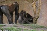 Edhe ata do të marrin vaksina: cila është gjendja e gorillave të infektuara në parkun e San Diegos?
