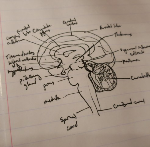 A diagram of the brain to illustrate mental health at the biological level