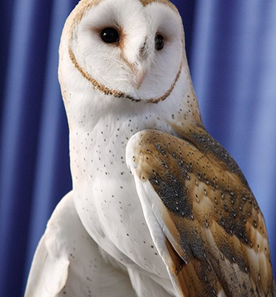 barn_owl_2_by_ravenofthenight-d5tqvxe1s